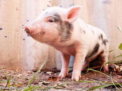 猪价跌至四年新低,这一轮猪周期底部在哪?