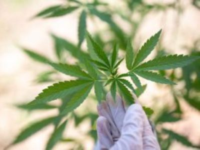 分析师:美国就业靠大麻 三年内全职岗位有望翻番达42.2万人