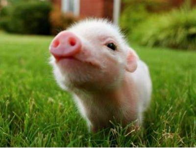 港股异动︱农业农村部指11月全国生猪存栏止降回升 中粮肉食(01610)现跌4%